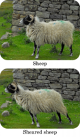 sheared_sheep.png