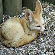 Foxgod
